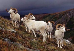 Dall Sheep Hunt Raffle